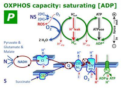 Oxphos Capacity Bioblast